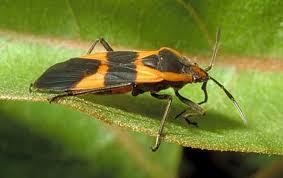 Order Hemiptera Suborder Heteroptera | ENT 425 – General Entomology